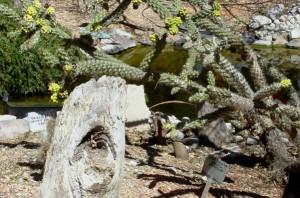 5_Cane Cholla Opuntia Spinosior